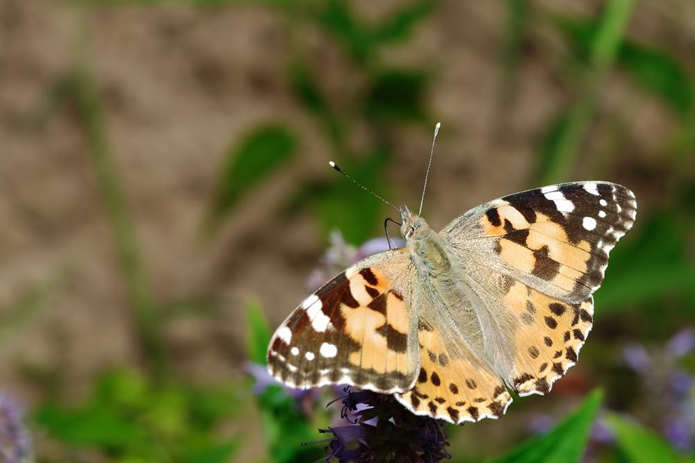 나비로 겨울을 나는 놈들입니다. 묵은 나뭇단이나 부직포 쌓아놓은 곳에서도 곳잘 발견되곤 하지요 연중 볼 수 있는 나비이기도 하고. 20832aa4ea0